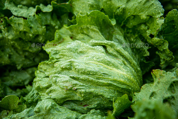 Close up of a Lettuce with Raindrops - Stock Photo - Images