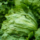 Close up of a Lettuce with Raindrops - PhotoDune Item for Sale