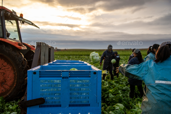 Group of People Harvesting Lettuce in a Farmland. Farm Workers - Stock Photo - Images