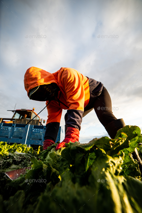Front View of a Woman Harvesting Lettuce with a Knife. Farm Worker - Stock Photo - Images