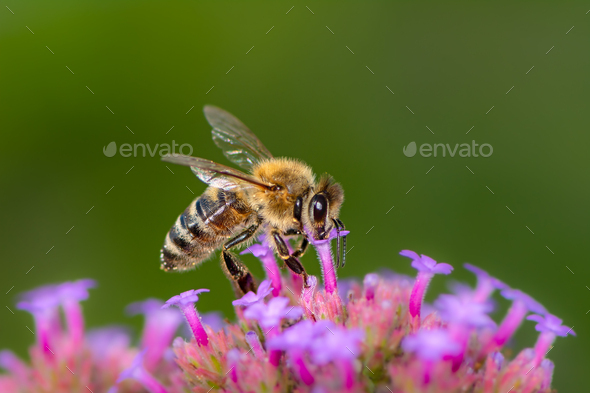 Bee pollinating on a flower blossom - Stock Photo - Images