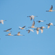 flock of white spoonbills fly in the blue sky - PhotoDune Item for Sale