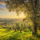 Maremma countryside panorama and olive trees. Casale Marittimo, Pisa, Tuscany Italy - PhotoDune Item for Sale