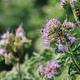 Lacy phacelia or Phacelia tanacetifolia flower in field - PhotoDune Item for Sale
