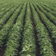 Rows of cultivated soybean crops in diminishing perspective - PhotoDune Item for Sale