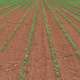 Rows of young green corn crops field in diminishing perspective - PhotoDune Item for Sale