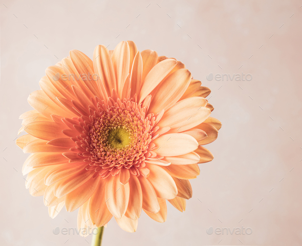 beautiful gerbera flower - Stock Photo - Images