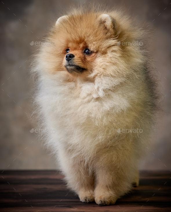 portrait of pomeranian spitz puppy - Stock Photo - Images