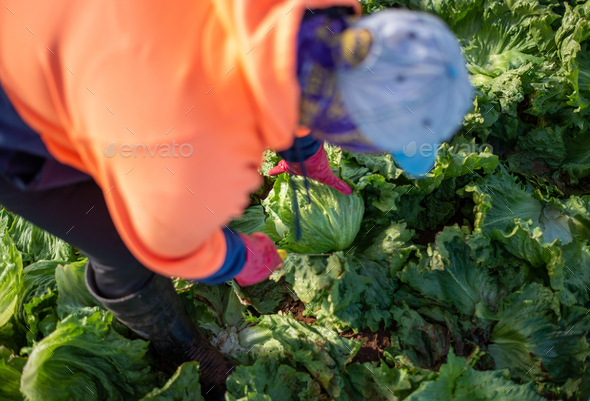 Top View of a Woman Harvesting Lettuce in a Farm. Farm Worker - Stock Photo - Images