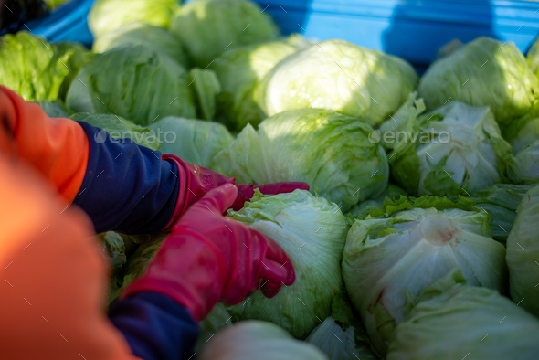 Top View of Hands Picking Lettuce from a Bin in a Farm . Australia Farm Worker - Stock Photo - Images