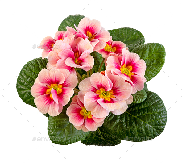 Isolated pink primrose flower - Stock Photo - Images