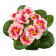 Isolated pink primrose flower - PhotoDune Item for Sale