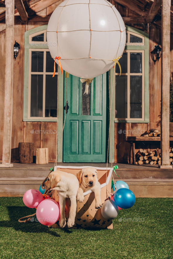 cute labrador puppies sitting in box of air balloon near house - Stock Photo - Images