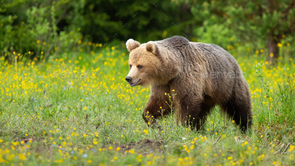 Brown bear walking on blooming meadow in summer nature - Stock Photo - Images