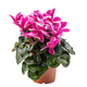 Pink and white cyclamen flowers - PhotoDune Item for Sale