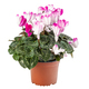 Blossoming cyclamen white with pink - PhotoDune Item for Sale