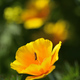 Eschscholzia californica, California, golden poppy, sunlight or cup of gold flower close up. - PhotoDune Item for Sale