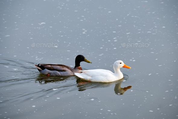White pekin and mallard duck dabbling ducks in river - Stock Photo - Images