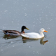 White pekin and mallard duck dabbling ducks in river - PhotoDune Item for Sale