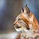 Close-up of eurasian lynx sitting in the forest at early winter - PhotoDune Item for Sale