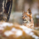Young eurasian lynx hiding in the forest at winter - PhotoDune Item for Sale