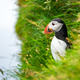 Famous faroese bird puffin closeup - PhotoDune Item for Sale