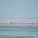 Pink flamingo birds at Sambhar Salt Lake in Rajasthan. India - PhotoDune Item for Sale