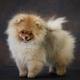 portrait of pomeranian spitz puppy - PhotoDune Item for Sale