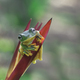 Tree Frogs Flying Frogs on Heliconia - PhotoDune Item for Sale