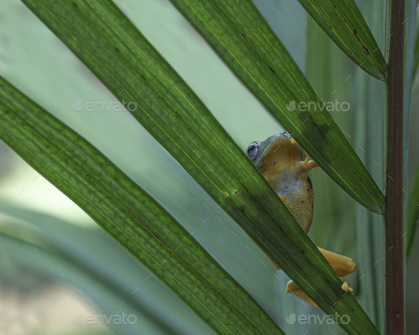 Tree Frogs Flying Frogs Hiding on Leaf - Stock Photo - Images