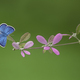 Blue Butterfly Sitting on a Pink Flower - PhotoDune Item for Sale