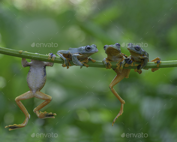 Four Tree Frogs Flying Frog Hang on a Branch - Stock Photo - Images