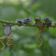 Four Tree Frogs Flying Frog Hang on a Branch - PhotoDune Item for Sale