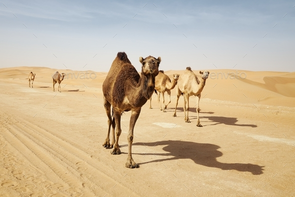 Herd of camels walking on country road against sand dunes in desert - Stock Photo - Images