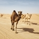 Herd of camels walking on country road against sand dunes in desert - PhotoDune Item for Sale