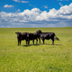 Cows in a pasture, clear blue sky in a sunny spring day, Texas, USA. - PhotoDune Item for Sale