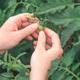 Female farmer examining unripe tomato fruit in organic vegetable garden - PhotoDune Item for Sale