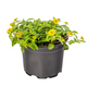 Mexican creeping zinnia, potted - PhotoDune Item for Sale