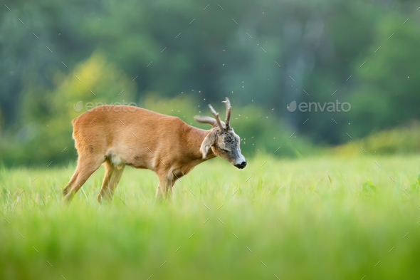 Roe deer repeling flies on pasture in summer nature - Stock Photo - Images