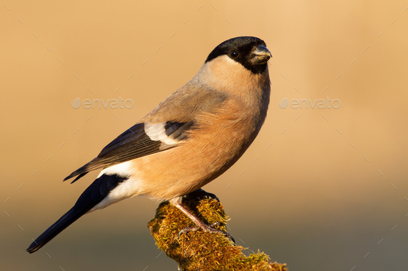 Bright close up of eurasian bullfinch female sitting on a twig - Stock Photo - Images