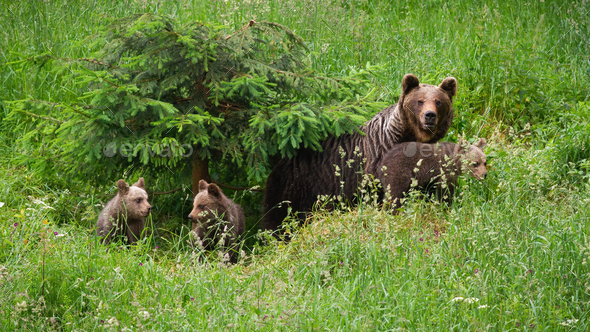 Family of brown bearmoving on pasture in green nature - Stock Photo - Images