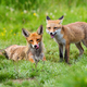 Two red fox lying on green meadow in summertime nature - PhotoDune Item for Sale