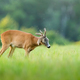 Roe deer repeling flies on pasture in summer nature - PhotoDune Item for Sale