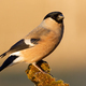 Bright close up of eurasian bullfinch female sitting on a twig - PhotoDune Item for Sale