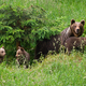 Family of brown bearmoving on pasture in green nature - PhotoDune Item for Sale