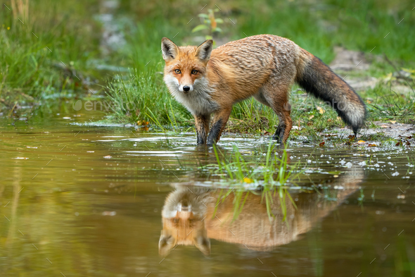 Red fox wading in water with reflection in summer nature - Stock Photo - Images