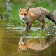 Red fox wading in water with reflection in summer nature - PhotoDune Item for Sale