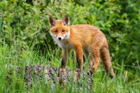 Cute potrait of young red fox standing on the stub in the forest - Stock Photo - Images