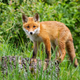 Cute potrait of young red fox standing on the stub in the forest - PhotoDune Item for Sale