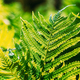 Beautiful Ferns Leaves Green Foliage Natural Floral Fern Background In Sunlight. Close Up Ferns Leaf - PhotoDune Item for Sale
